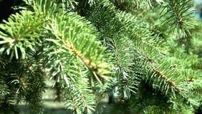 Les aiguilles du pin A verdissent la branche d'un arbre de No?l avec les aiguilles pointues se d?pla?ant le vent clips vidéos