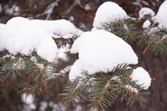 Les aiguilles du sapin de la Russie dans la neige image stock