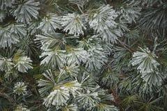 Les aiguilles foncées du pin couvertes de gel pendant l'hiver assaisonnent, Images stock
