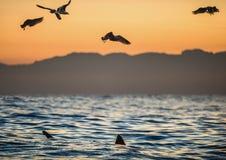 Les ailerons d'un requin blanc et des mouettes mangent des articles de fin de série de proie d'un grand requin blanc Photographie stock libre de droits
