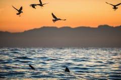 Les ailerons d'un requin blanc et des mouettes mangent des articles de fin de série de proie d'un grand requin blanc Image stock