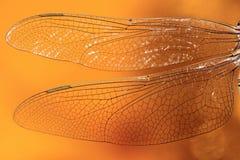 Les ailes d'une fin de libellule  Photos libres de droits