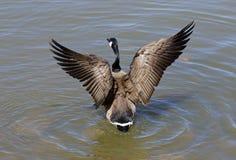 Les ailes d'une oie Images libres de droits