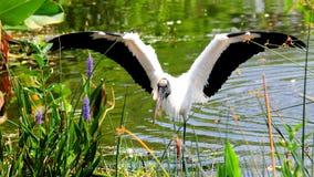 Les ailes de cigogne en bois ouvrent patauger dans le marécage Photos libres de droits