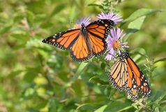 Les ailes de monarques masculins se sont étendues et dans le profil sur des asters de Nouvelle Angleterre Images libres de droits