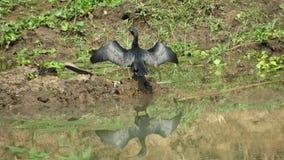 les ailes de séchage d'oiseau de plongeur se sont étendues dans la réflexion du soleil sur l'eau Image stock