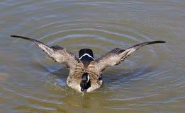 Les ailes puissantes d'une oie caquetante Photos libres de droits