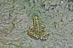 Les algues de magma de boue de grenouille mugissante de grenouille se ferment vers le haut de l'espace de copie Photos libres de droits