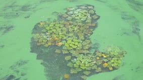 Les algues nagent sur l'eau banque de vidéos
