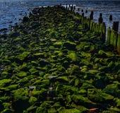 Les algues ont couvert des roches Photos stock