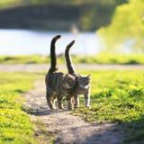 Les amants couplent la promenade de chats rayée ensemble sur le pré vert dans Sunn photographie stock libre de droits
