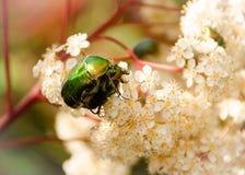 Les amants ou l'amour de ressort est partout Fermez-vous de deux insectes sur l'arbre de ressort Images libres de droits