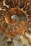 Les ammonites dans la coquille est blessure en spirale Images libres de droits