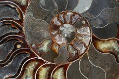 Les ammonites ont eu une coquille en spirale plate Photo stock