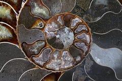 Les ammonites se sont produites dans les centaines d'espèces et variétés Photos stock