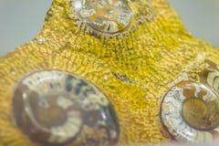 Les ammonites sont peut-être le fossile le plus largement connu Le plus tôt Image libre de droits
