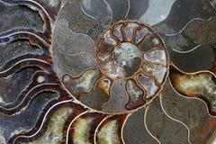Les ammonites sont une sous-classe éteinte des seiches Images libres de droits