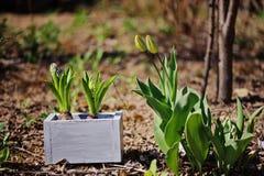 Les ampoules de jacinthe dans la boîte en bois sur le jardin enfoncent dans la journée de printemps ensoleillée Photo libre de droits
