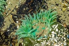 Les anémones de GSea ont attaché aux roches dans une piscine de marée photographie stock libre de droits