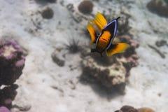 Les anemonefish de Clark à l'île de Lipe image libre de droits