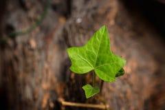 Les anglais Ivy Leaf, se ferment  Photos libres de droits