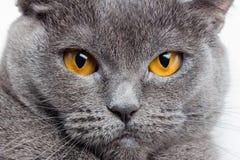Les Anglais sérieux Gray Cat Closeup Photographie stock