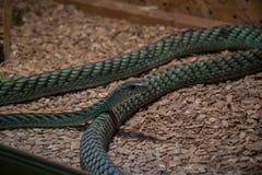 Les angusticeps orientaux de Dendroaspis de mamba verte image libre de droits