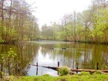 Les animaux nagent dans le lac avec le fond vert de nature Photos libres de droits