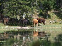 Les animaux s'approchent du lac Image libre de droits