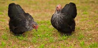 Les animaux vivants libèrent des poules de coq nain de poulet d'intervalle Photos libres de droits