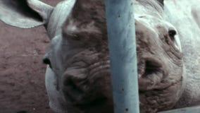 les années 1970, Rome, Italie - tir visuel de cru sur le zoo de Rome Rhinocéros de courses d'homme clips vidéos