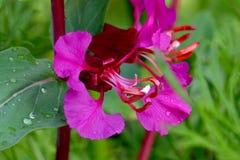 Les anthères de tourbillonnement roses ont mouillé les feuilles vertes Images libres de droits