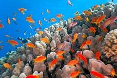 Les anthias de banc pêchent sur le récif coralien Photographie stock