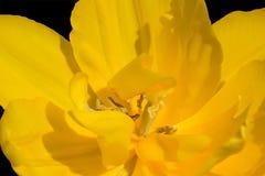 Les anthères de tulipe avec des grains de pollen de tulipe jaune fleurissent Image stock