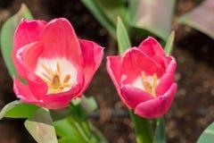 Les anthères de tulipe avec des grains de pollen de tulipe rose fleurissent Images libres de droits