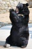 Les applaudissements de l'ours Photographie stock libre de droits