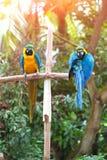 Les aras bleus étaient perché sur un poteau en bois appréciant la chaleur du soleil de soirée Photographie stock