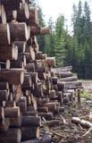 Les arbres abattus s'approchent de la forêt conifére Photo libre de droits
