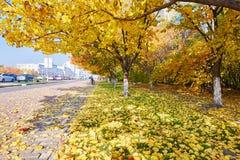 Les arbres automnaux d'armeniaca de prunus sur la route dégrossissent photos stock
