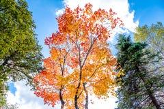 Les arbres colorés lumineux d'automne dans l'arbre d'érable rouge et l'arbre d'érable orange sur le fond clair de ciel bleu de nu Photo libre de droits