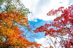 Les arbres colorés lumineux d'automne dans l'arbre d'érable rouge et l'arbre d'érable orange sur le fond clair de ciel bleu de nu Images stock