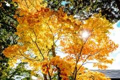 Les arbres colorés lumineux d'automne dans l'arbre d'érable rouge et l'arbre d'érable orange sur le fond clair de ciel bleu de nu Photographie stock