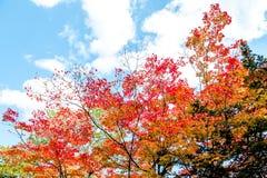 Les arbres colorés lumineux d'automne dans l'arbre d'érable rouge et l'arbre d'érable orange sur le fond clair de ciel bleu de nu Image libre de droits
