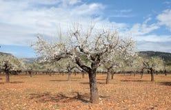 Les arbres d'amande mettent en place pendant la vue de large d'hiver ensoleillé Photos stock
