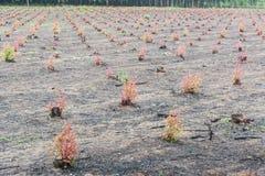 Les arbres d'eucalyptus Photo libre de droits