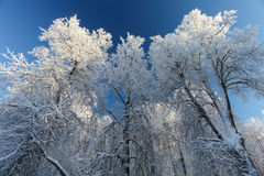 Les arbres d'hiver avec la neige et le ciel bleu profond photos libres de droits