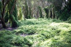 Les arbres dans des pots et chairGreen la forêt de marécage Image libre de droits
