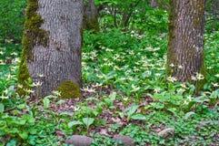 Les arbres dans la forêt avec le pré de Fawn Lily fleurit à plat Photos libres de droits