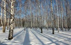 Les arbres de bouleau dans le coucher de soleil pendant l'hiver se garent Image stock
