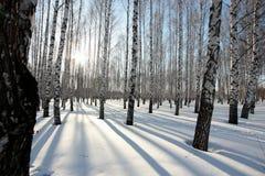 Les arbres de bouleau dans le coucher de soleil pendant l'hiver se garent Images stock